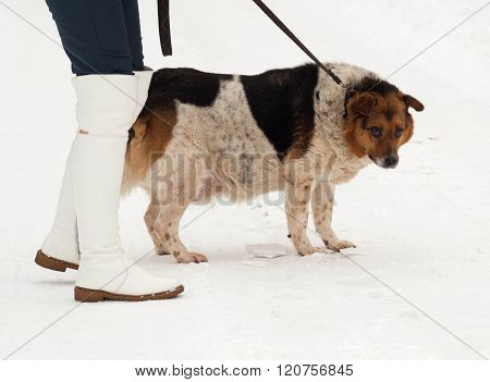 White, Red And Black Spotted Thick Mongrel Dog Is On Leash On Snow