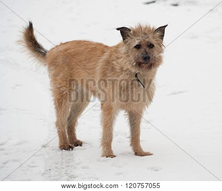Red Mongrel Shaggy Dog Standing In Snow