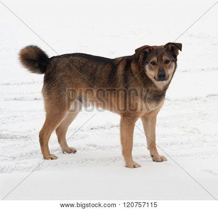 Brown Mongrel Dog Standing In Snow