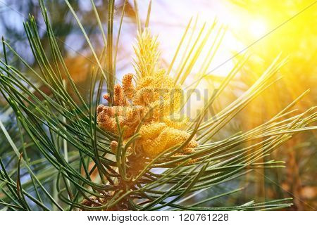Pinus Mugo Backlit