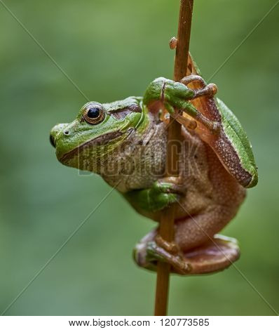 European Tree Frog Hanging On A Straw