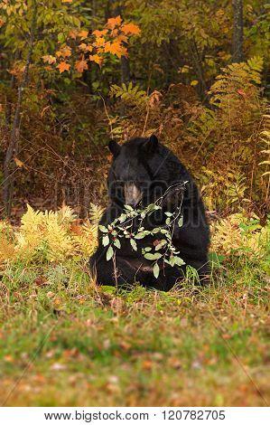 Adult Female Black Bear (ursus Americanus) Gnaws On Berried Branch