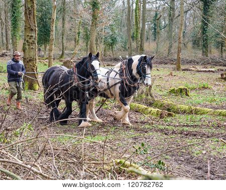 Team Of Cob Horses