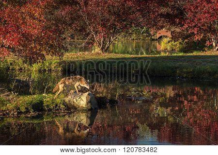 Coyote (canis Latrans) Steps Onto Rock