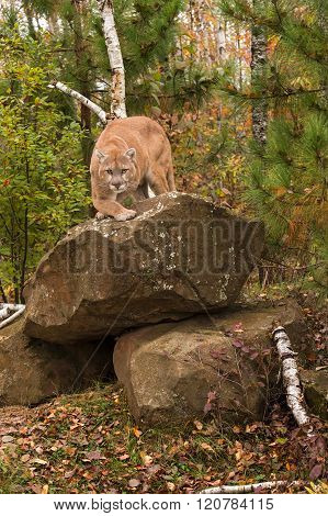 Adult Male Cougar (puma Concolor) Stares Forward