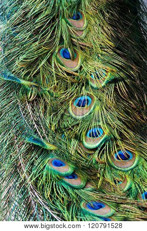 Peacock's Tail Feathers