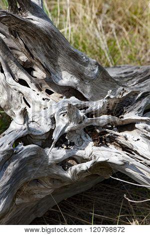 Drift Wood cast ashore by high tides