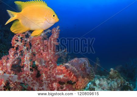Scorpionfish on coral reef with damselfish