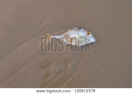 Blacktail Tripod-fish dead on the sand.Copy space