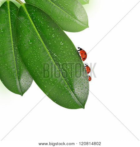 Ladybugs on dewy leaves of Ficus elastica