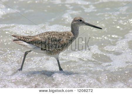 Sandpiper In Surf