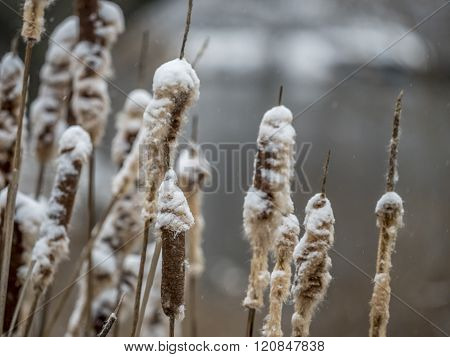 Typha Latifolia,broadleaf, Cattail,