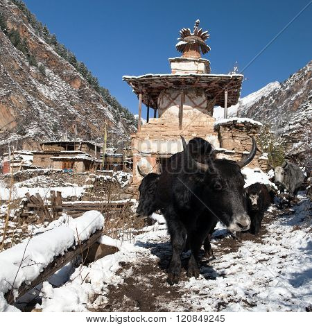 Yaks And Stupa In Pungmo Village