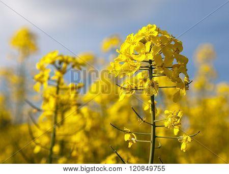 Detail Of Flowering Rapeseed - Brassica Napus
