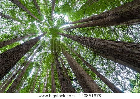Up-tree shot of Californian redwoods forest in Victoria, Australia