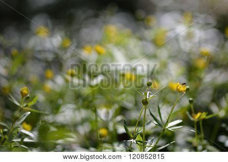 Goldilocks buttercup (Ranunculus auricomus agg.)