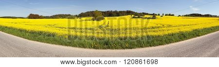 Rapeseed (brassica Napus) Field And Road