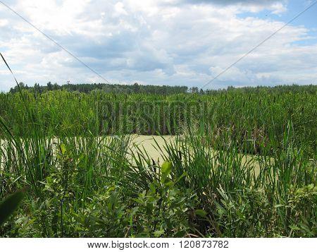 Bog And Green Grass
