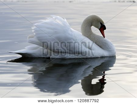 Beautiful photo of a mute swan in the calm water