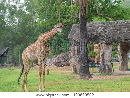 Galloping Giraffe at Kow keaw park in Chonburi