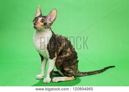 Cat Breed Cornish Rex