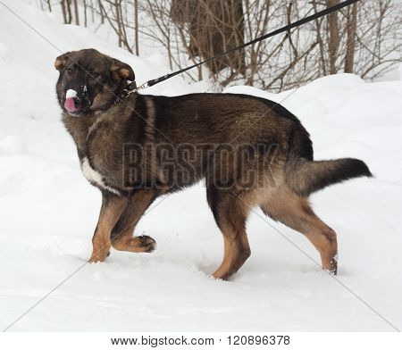 Gray And Brown Mongrel Dog Standing On Snow