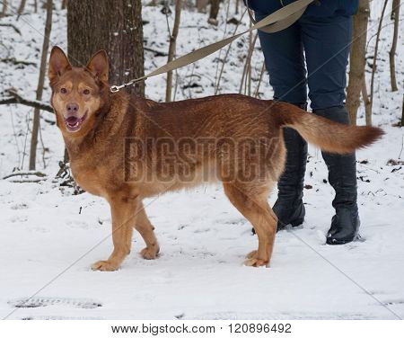 Red Thick Mongrel Dog Standing On Snow
