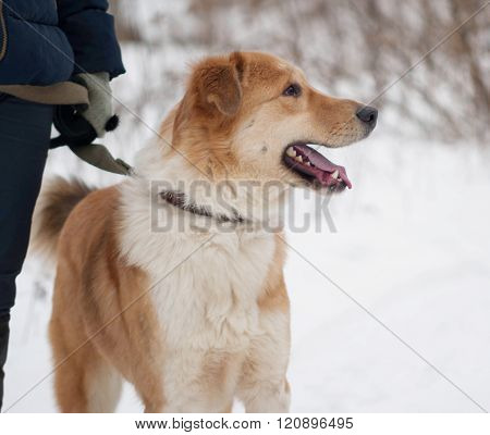 Red And Fluffy White Mongrel Dog Standing On Snow