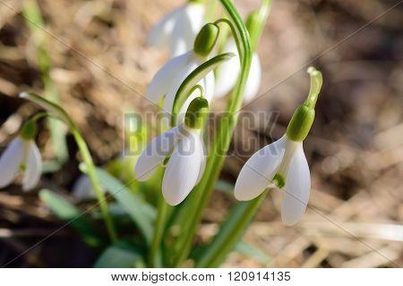 Sunbathing blooming Snowdrop Flowers