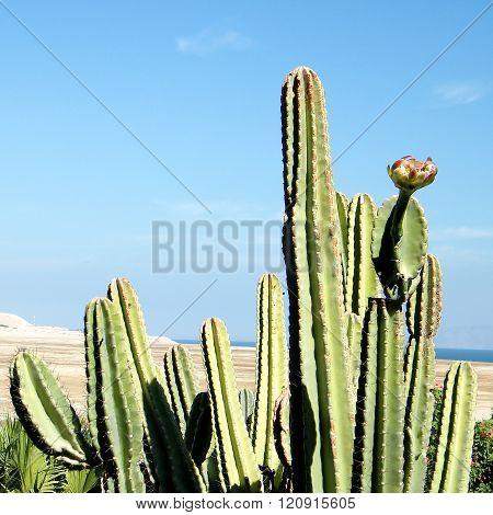 Ein Gedi San Pedro Cactus 2010