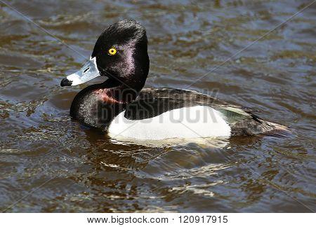 Ring Neck Duck Drake Male Bird
