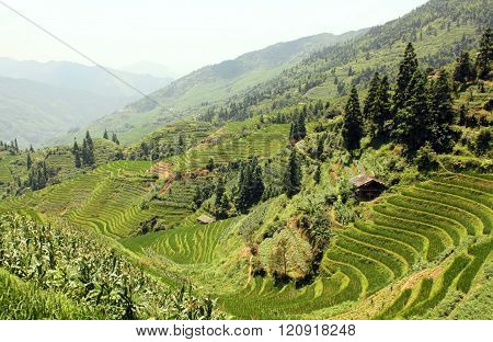 Rice Terraces of China