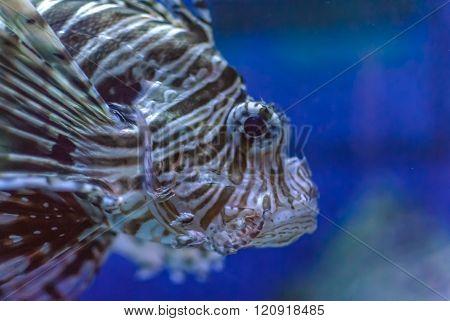 Closeup of a Lionfish (Pterois) which is a Venomous Marine Fish