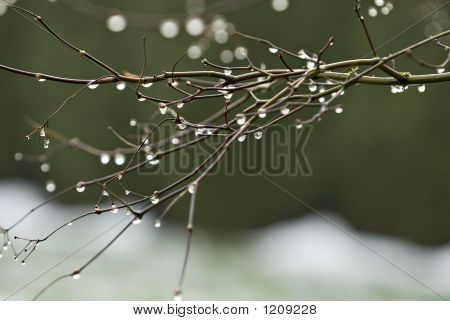 Dew Drops On Branches