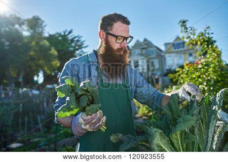 harvesting kale inside of urban communal garden