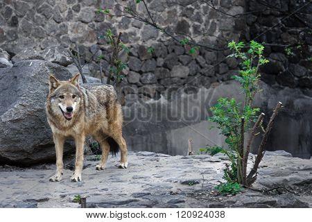 Kind gray wolf walk