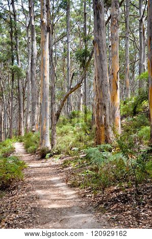 Path in the Boranup Timber Forest