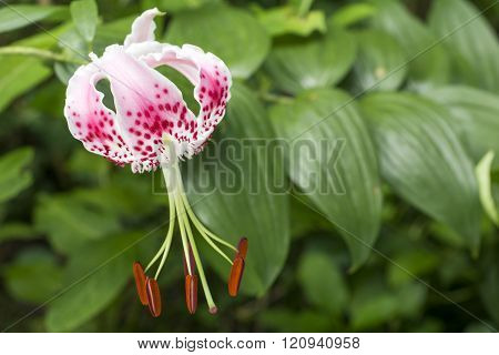 Pink spotted lily