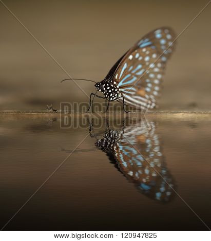 Dark Blue Tiger (tirumala Septentrionis)  With Water Reflection