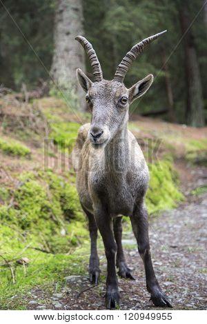 Closeup Of A Female Alpine Ibex Or Steinbock