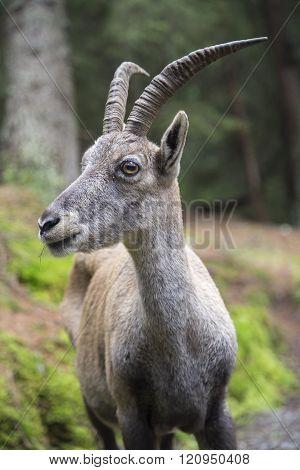 Portrait of a female alpine ibex or bouquetin