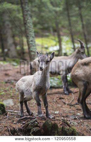 Baby Alpine Ibex With The Herd