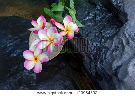 Pink Flowers Frangipani Or Plumeria On The Waterfall Rock With Sea Conch Shell