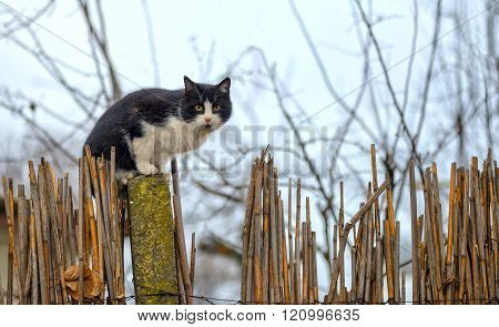 Cat On A Fence. Neighbors Cat Is Staring At Photographer.