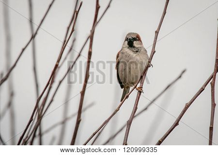 Sparrow On A Twig In The Wintertime