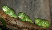 three green tree frogs all in a line sitting on a branch. poster
