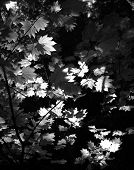 black and white leaves taken with sun shining from the back poster
