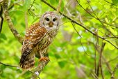 Barred owl (Strix varia) sitting on a tree. Barred owl is best known as the hoot owl for its distinctive call poster