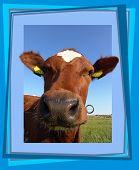 curious cow poster