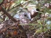 crest top pigeon nesting in back yard tree poster